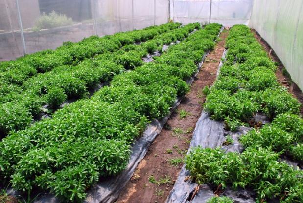 Stevia: un cultivo rentable y promisorio – portalvallenato.net