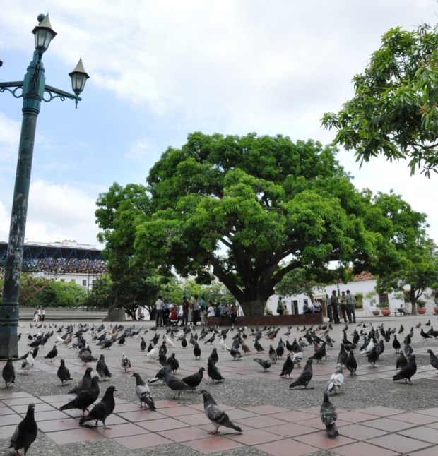 Legendario palo de mango de la plaza Alfonso López de Valledupar - Foto Edgar de la Hoz